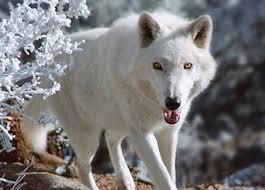 Colorado wildlife images Colorado wolf and wildlife center divide co JPG