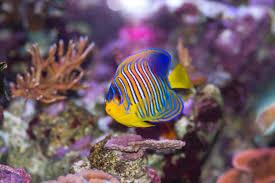 free stock photo 1249 royal angel fish 2209 jpg freeimageslive