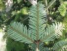 Image result for Abies nordmanniana