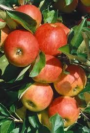 patio fruit trees unwins seeds