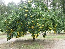 satsuma jpg 3 264 2 448 pixels my yard fruit trees
