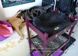 Cat Bunk Bed Catster Diy Make Your Own Bunk Bed Catster