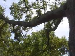 residents business owner fight to save 100 year oak tree