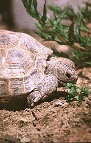 Tortoise Bedding A Habitat For Horsfields