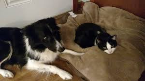 Cats In Dog Beds These Dogs Catch The Cats Stealing Their Beds And Their Reactions