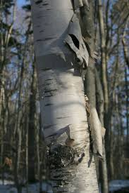 166 best birch trees images on pinterest aspen trees fall and trees the paper birch tree