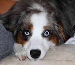 australian shepherd nose co wy ut mt id nm available dogs western australian