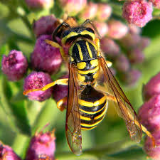 how to kill get rid yellow jacket nest yellow jacket control