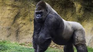 what angers this gorilla national geographic