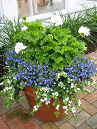 container gardening morning sun blue flowers and flower