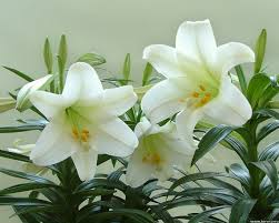 white lilies white flower wallpaper 1280x1024 51928