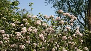 White Flowering Shrub - 10 most fragrant outdoor flowers best smelling plants for garden