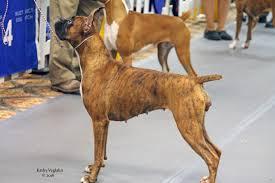 boxer dog shows 2016 bpis ch vanquish to da rock at maestro maestro boxers