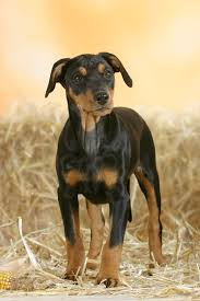 afghan hound harga german pinscher dog breed information pictures characteristics