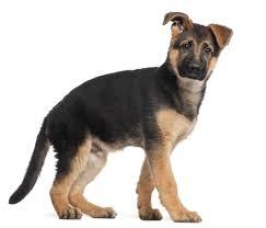 belgian sheepdog german shepherd mix le village des chiens uk