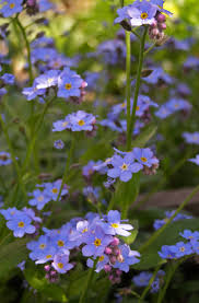free images nature meadow flower botany blue flora