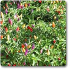 buy capsicum annum ornamental chilli plant buy 6000