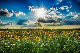 sunflower pictures sunflowers agricenter international
