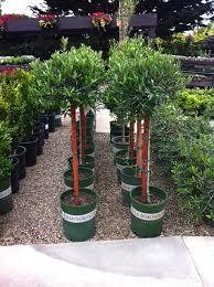 Small Backyard Trees by Best 25 Dwarf Shrubs Full Sun Ideas On Pinterest Evergreen