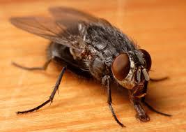 larven in der k che schmeißfliegen