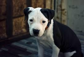 american pitbull terrier info file american pit bull terrier pup jpg wikimedia commons