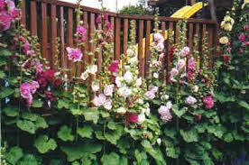 hollyhocks garden life designs