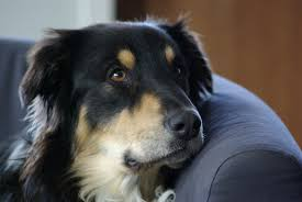 australian shepherd dog free images forest puppy fur pets dogs animals vertebrate