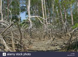 a mangrove forest at low tide just inside the mouth of the amazon