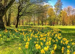 Ideas For Daffodil Varieties Design Daffodils How To Plant Grow And Care For Daffodil Flowers The