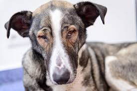 of the retina in the eye in dogs symptoms causes diagnosis
