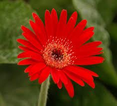 gerbera plant scarlet drakensberg hardy garden gerbera southern living