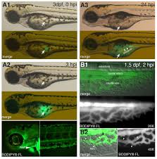 zebrafish yolk lipid processing a tractable tool for the study of