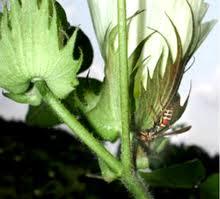 Plant Diseases Wikipedia - biological pest control wikipedia