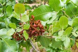 pistacia description distribution exles britannica