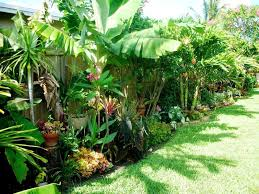 growing banana trees in your yard wearefound home design