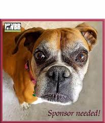 rescue a boxer dog sponsor a rescue dog full sponsorship northwest boxer rescue