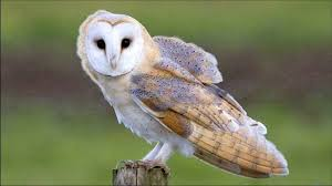 Where Do Barn Owls Live Nocturnal Animals