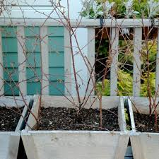 Trellis Peas How To Grow Peas In Container Gardens
