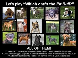 american pitbull terrier vs amstaff what is the difference between american bully and american pit