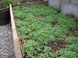 in my kitchen garden lettuce and arugula in the garden with step