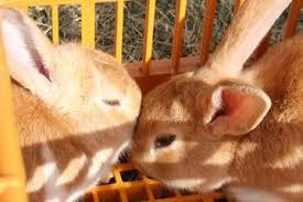 life as a polyface apprentice butchering rabbits