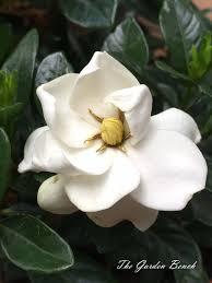 gardenia is worth pampering the garden bench