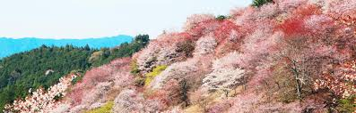 Cherry Blossom Facts by Yoshino Area Japan National Tourism Organization