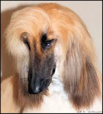 afghan hound attack posts during may 2012 for red dog