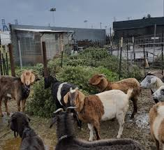 donate your leftover christmas tree to sf u0027s goats city grazing