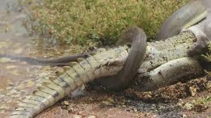 film ular phyton ular ini meledak setelah makan buaya tabloidbintang com