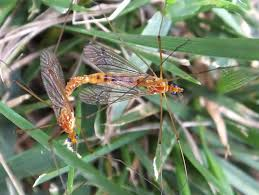 insect love tiger crane flies the life of your time