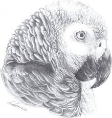 best 25 parrot drawing ideas on pinterest cute animal drawings