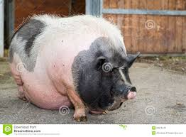 ugly pig stock photos royalty free images dreamstime