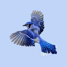 best 25 blue jay ideas on pinterest blue bird blue jay bird